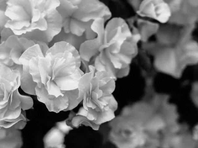 Liliflora